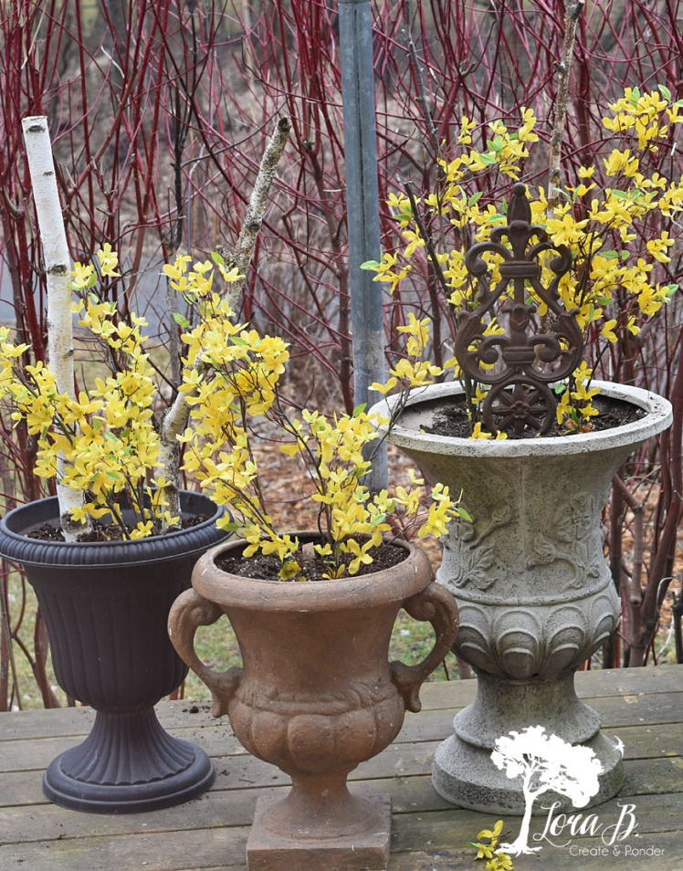 Forsythia branches in outside planters