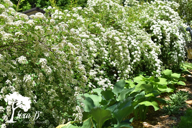 Bridal Veil Spirea bushes in bloom